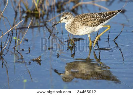 Wood sandpiper wading in shallow water with reflection searching for insects
