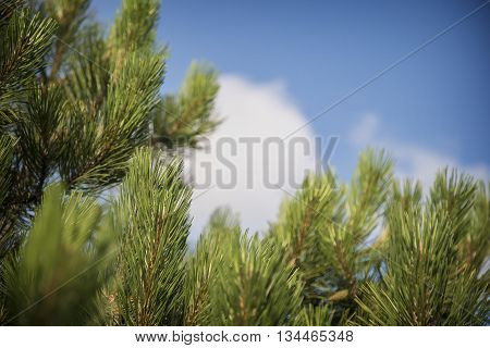 Blue spruce branches on a blue sky background