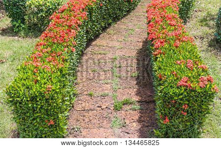 Ixora flower row between the brick way in the botanical garden.