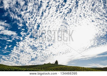 White puffy clouds in a blue sky over a Napa Valley vineyard. Simple scenery of a Napa vineyard. Huge blue skies and happy white clouds. Rolling hills of green grapevines in Napa and a single tree on the horizon.