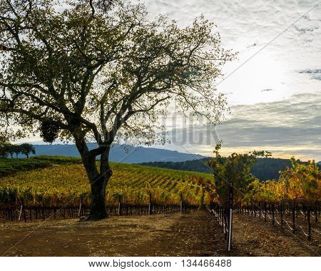 Tree in a Sonoma California vineyard in autumn. Colorful Sonoma Valley wine country at harvest time. Hills and mountains at the vineyard. Thick clouds at sunset. Yellow orange and green grapevines in fall.
