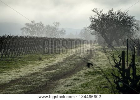 Dreary morning fog in a Napa California vineyard in winter. Early morning haze and fog in Napa Valley. Dew on a path leads back through vines. Silhouette of trees and grapevines. Dark mysterious scenery.