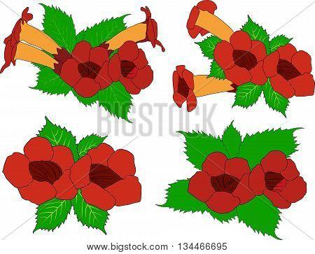 the drawn image a vector of a decorative liana a campsis begnonia