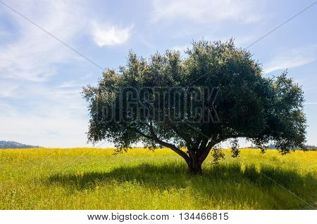 Lone tree in a field with soft clouds in a blue sky. Lush green single tree in a field of yellow mustard flowers. Wispy clouds in the background. Serene tranquil happy scenery.