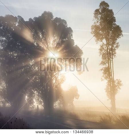 Sun rays through tree on foggy morning by country road. Morning sunlight shines on a foggy misty morning. Trees are backlit at dawn. Ethereal mood.