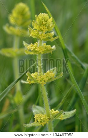 Crosswort - Cruciata laevipes Calcareous Grassland Wild Flower