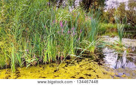 Natural pont in the summer season with duckweed reed plants and pink blossoming fireweed at the banks.