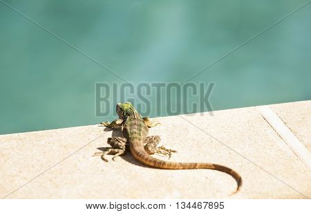 A young black spiny-tailed iguana suns himself at the edge of the swimming pool