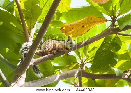 Variegated Tree Squirrel relaxes on a branch in an almond tree