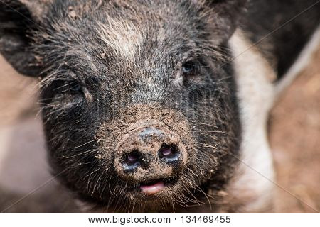 Closeup of Black Pig Head with a cute snout