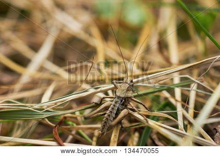 The brown grasshopper sits on a grass. The little grasshopper. insect eats a grass. Grasshopper in a garden.