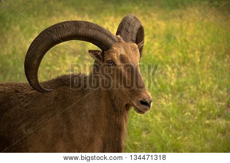 Aoudad ram sheep has large thick curved horns. They are also called Barbary sheep.