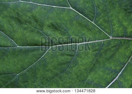 Burdock leaf. Macro background.  Streaks on the sheet as the veins