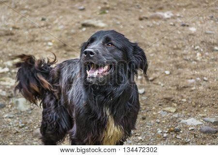 Black Hair Dog