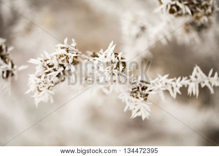 Hoarfrost on the seeds. Macro image. Beautiful winter nature. Small depth of sharpness