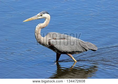 A great blue heron (Ardea herodius) wading through a pond hunting for fish.