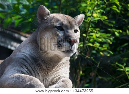 Female Cougar Among The Green Trees