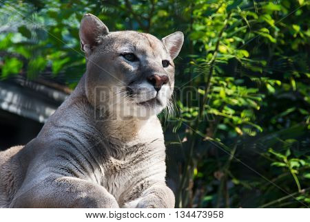 Female Cougar Among The Green Bushes