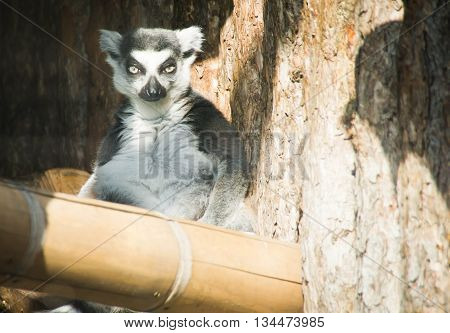 Lemur Sitting On A Wooden Stick