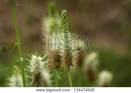 Flowers of the spiked rampion (Phyteuma spicatum).