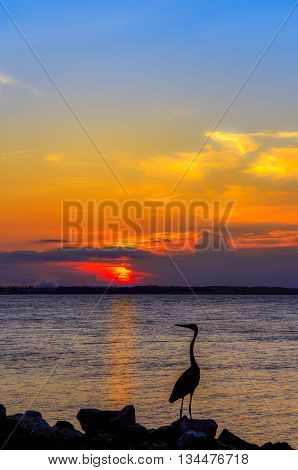 Great Blue Heron gazing out over the Chesapeake Bay at sunset