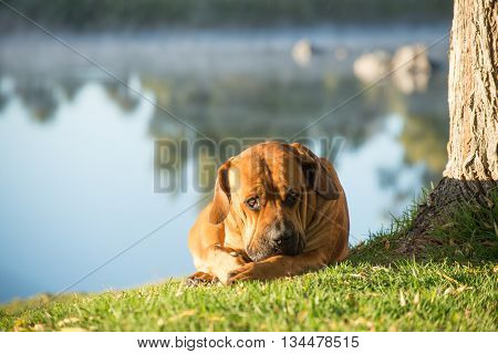 Boerboel Lying On Grass By River