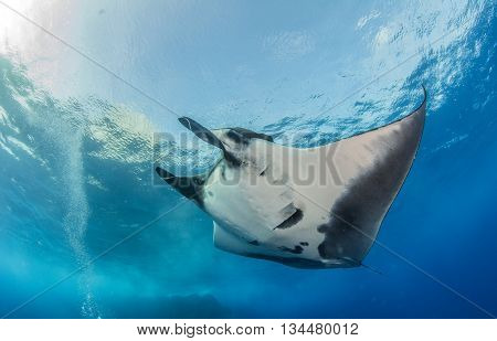 Manta Ray at Islas Revillagigedos in Mexico