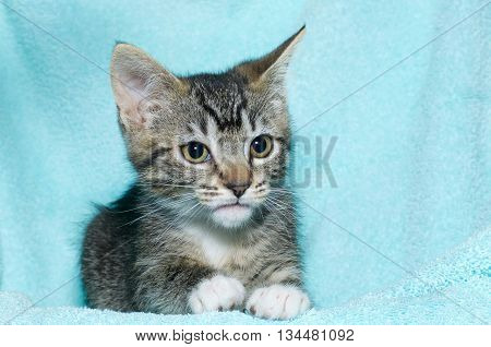 young six week old black and white tabby kitten sitting laying on an aqua teal colored blanket resting watching looking to the right of the frame