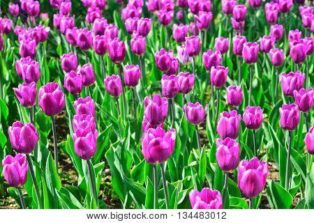 Field of purple tulips in a garden