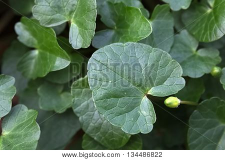 Fig Buttercup (ficaria Verna) Leaf Seen From Above