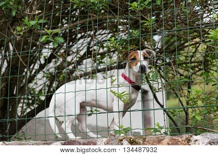 Jack Russel guard dog behind fence