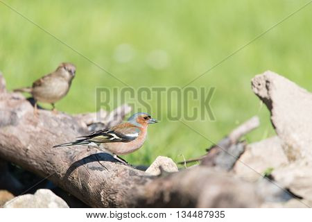 Male common chaffinch and female sparrow