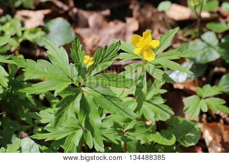 Yellow Wood Anemone (anemone Ranunculoides) In A Forest