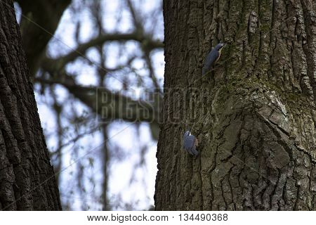 Two Eurasian nuthatches (Sitta europaea) sitting in tree.