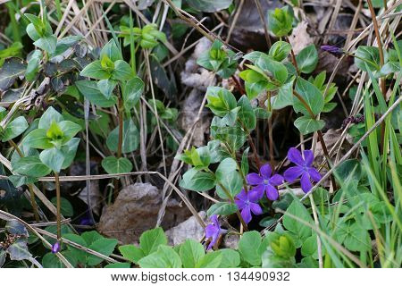 The Evergreen Bigleaf Periwinkle (vinca Major) With Blossoms