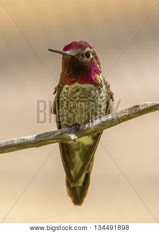 A beautiful male Anna's Hummingbird displays the vibrant colors on his throat while perched on a branch.