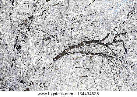 Close Up of branches of a tree covered with rime frost
