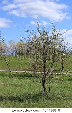 Young Apple Tree (malus Domestica) In Spring
