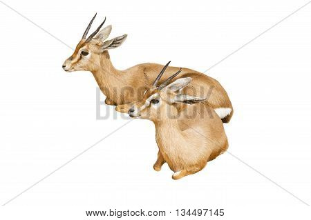 Two beautiful lying gazelles isolated on a white background