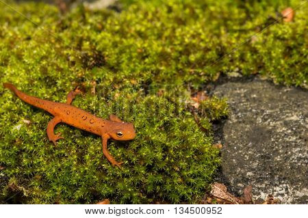 A Red Eft crawling on the forest floor.