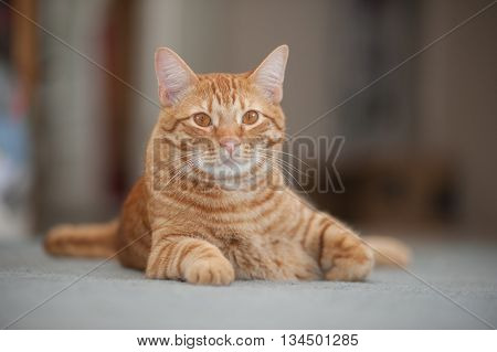 Furry and orange cat poised and alert.