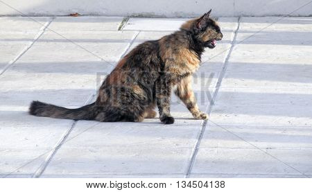 Brown European (Celtic) shorthair cat wanders around on the street