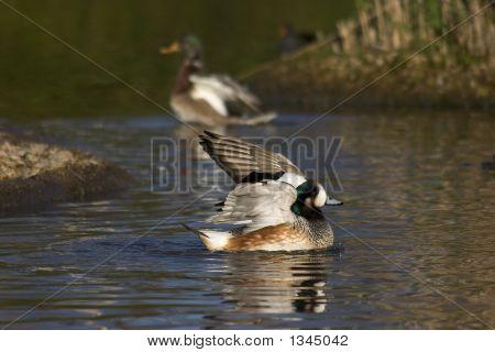 Teal At Wetland Reserve