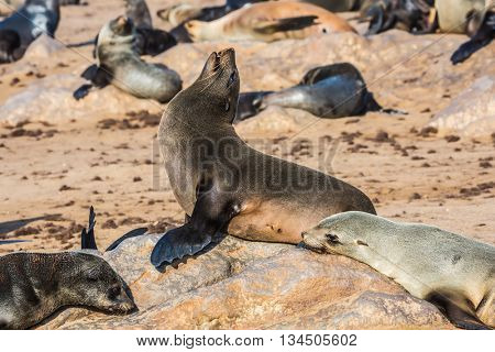 Reserve fur seals in Namibia. Large colony of animals in Cape Cross