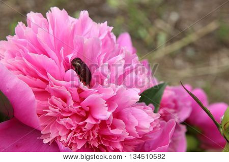 By red flower the peony is crawling chafer. Green insect beetle.