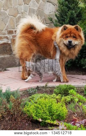 friendship between dog chow-chow and british cat