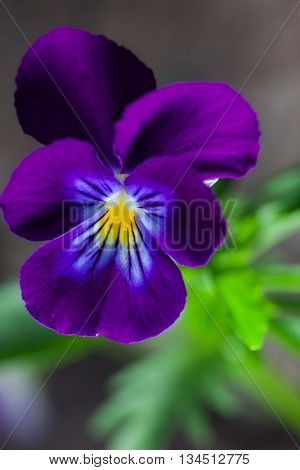 pansy spring flower. outdoor shot
