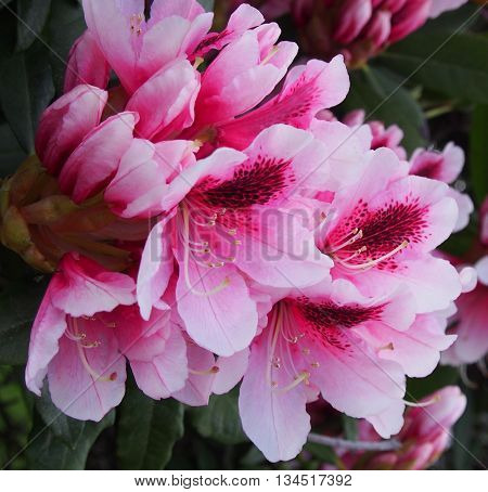 Pink Rhododendron flowers, macro flowers, Rhododendron bush
