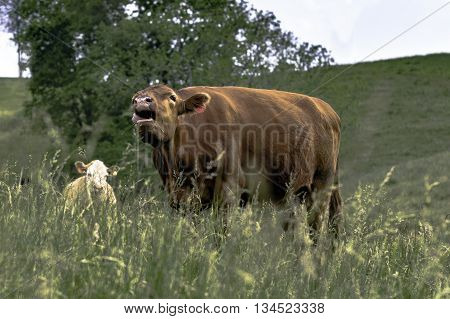 Brown cow standing in a field of tall fescue bawling