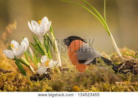 male bullfinch standing on moss with crocus